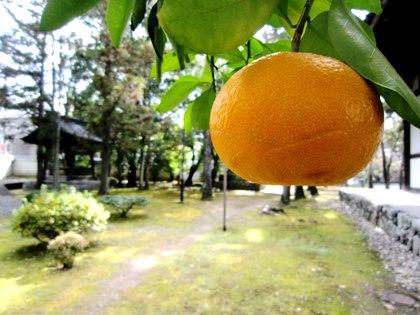 広隆寺の柑橘類