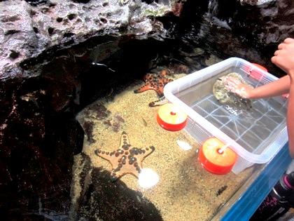 京都水族館のマンジュウヒトデ