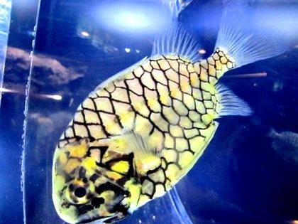京都水族館のマツカサウオ