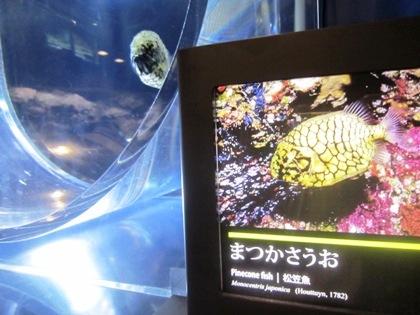 京都水族館のマツカサウオ 松笠魚
