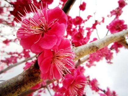 平等寺近くに開花する紅梅
