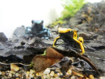 キオビヤドクガエル 黄帯矢毒蛙