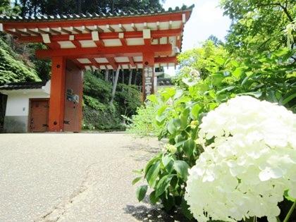 三室戸寺の紫陽花 アジサイ あじさい