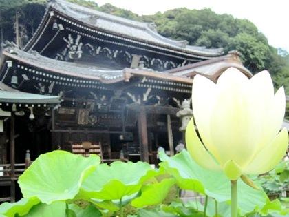 三室戸寺の蓮の花