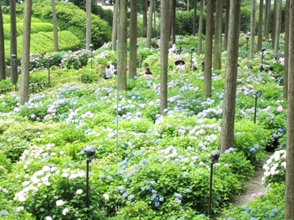 紫陽花庭園 あじさい庭園