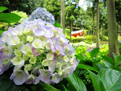 三室戸寺のあじさい 紫陽花 アジサイ