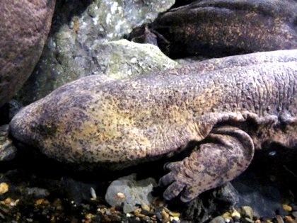 オオサンショウウオ 京都水族館