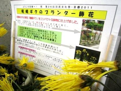 プランターの嵯峨菊