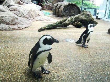 京都水族館のケープペンギン