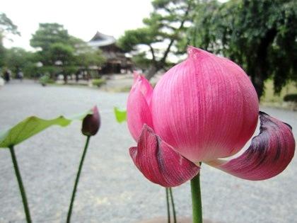 蓮の花 平等院鳳凰堂