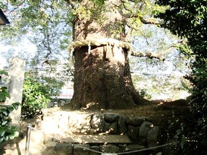 新熊野神社の大樟