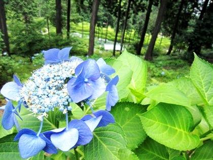 三室戸寺の紫陽花 あじさい アジサイ
