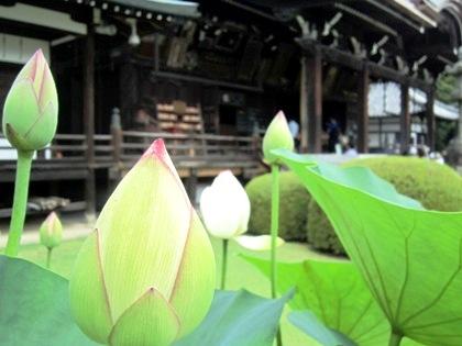 三室戸寺の蓮