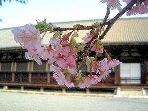 梅 蓮華王院の本堂